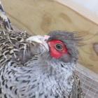 2014 hatch Cheers pair - Pheasants