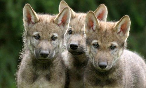 Sondage : Êtes-vous capable de vous mobiliser pour arrêter tous les abattages des loups en France ?