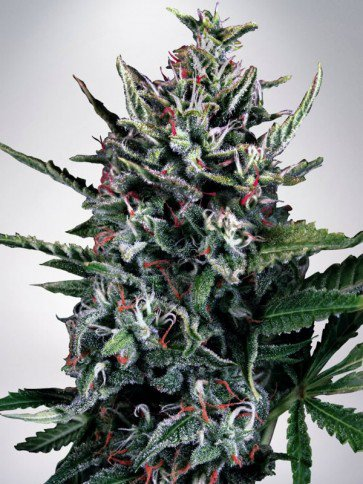 Auto Silver Bullet Féminisées - Ministry of Cannabis