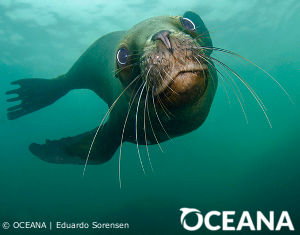 Sea Lions Are Starving – Will You Help? | Oceana