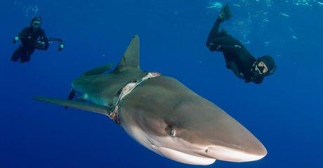 Alors qu'ils exploraient les profondeurs d'une île des Bahamas, trois plongeurs ont rencontré un requin visiblement...