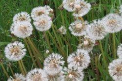 Plantes bio-indicatrices du jardin - [jardin des PETITES RUCHES]