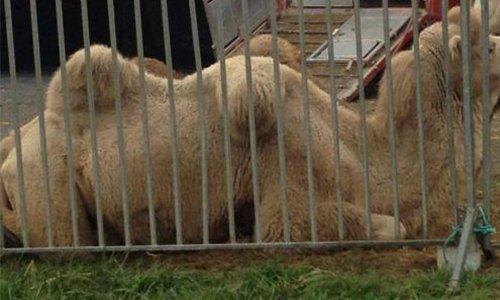 Pétition : Cholet : Stop au cirque avec animaux !