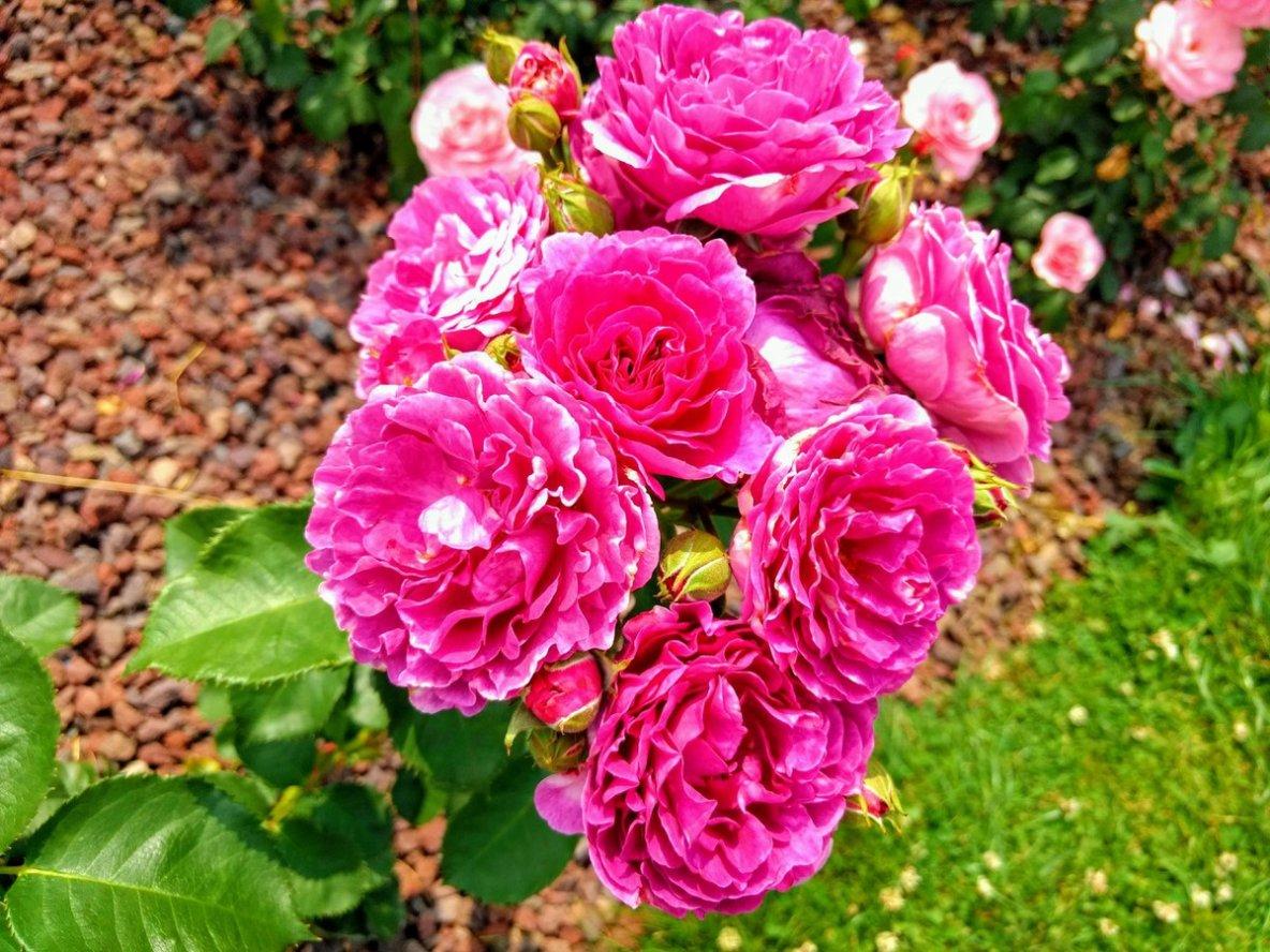 D'une épine, une rose est née - Aimez vos roses.