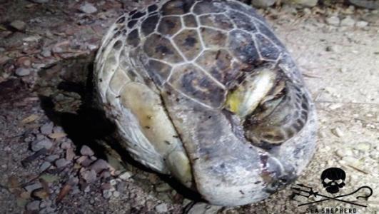 Pétition : Pour plus de protection à Mayotte : des braconniers décapitent des tortues !