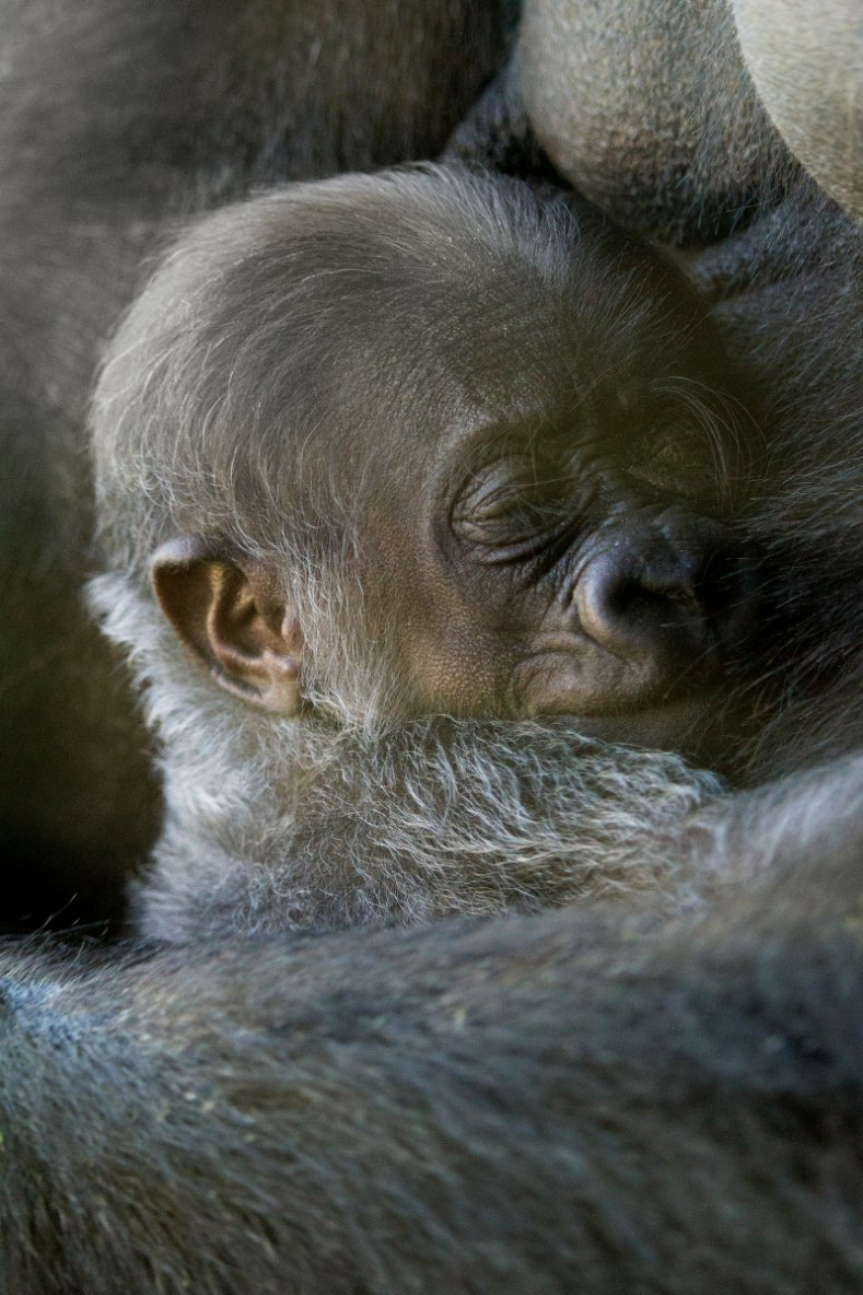 'It's A Girl!' for Philly Zoo's Gorilla Troop