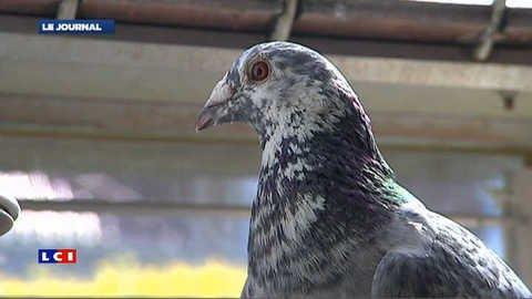 Vidéo Un élu UMP veut réhabiliter… le pigeon voyageur - MYTF1News - Actu / Buzz
