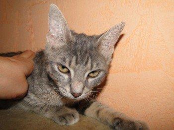 ACTU Animaux - Miyaké, chatonne très affaiblie par un giardia