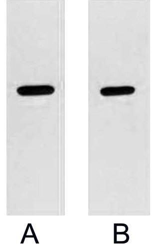 Anti-Strep Tag Mouse Monoclonal Antibody (8Y3) - Abbkine - Antibodies, proteins, biochemicals, assay kits for life science research