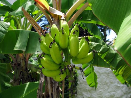 Les étonnantes propriétés de la peau de banane