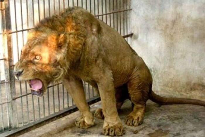 Indonésie : l'enfer du zoo de Surabaya, zoo de la mort