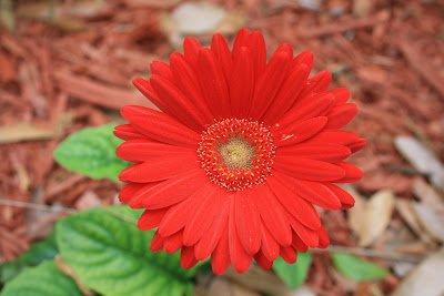 Best Flowers In The World Daisy Flower