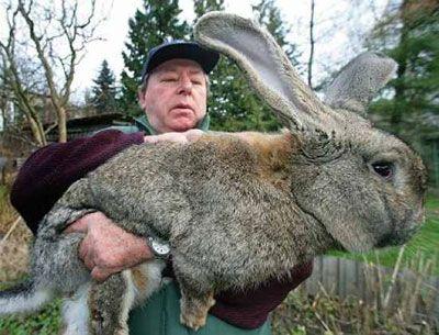 Le plu gros lapin du monde !