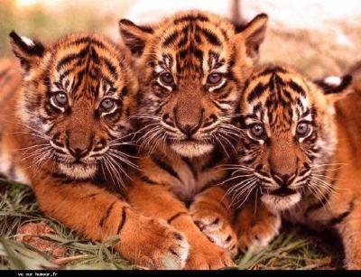 j'adore lé tigres i son tro mimi!!!!!!