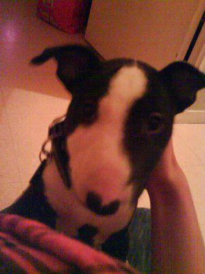 mon  bull terrier