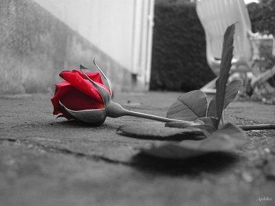 la rose!