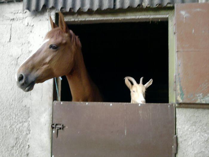 Chevàl et ùne chèvre !!!