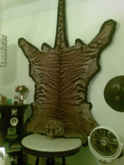 The Animal Was Worlds 2nd Largest Tiger..... Hunted !!