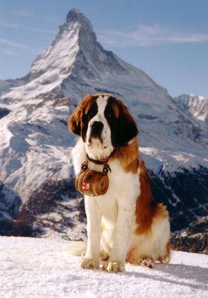 mon  future chien  un Saint-bernard