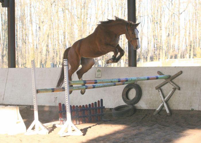 cheval qui saute