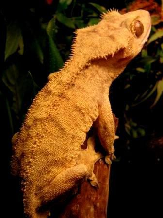 Fredy mon crested gecko