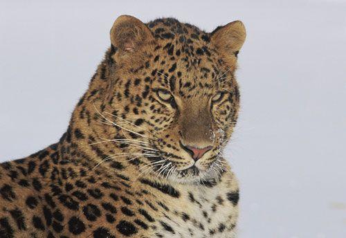 Milo mon leopard de l'Amour