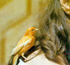 Canarios: aves que se pueden adiestrar.