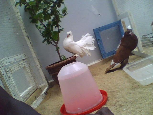 Mr paon et Mr boulant dans la voliere aujourdhui