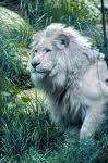 le king  moiii mem je suis comme ce lion blanc très rare