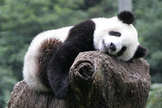 b b panda qui dort panda fun. Black Bedroom Furniture Sets. Home Design Ideas