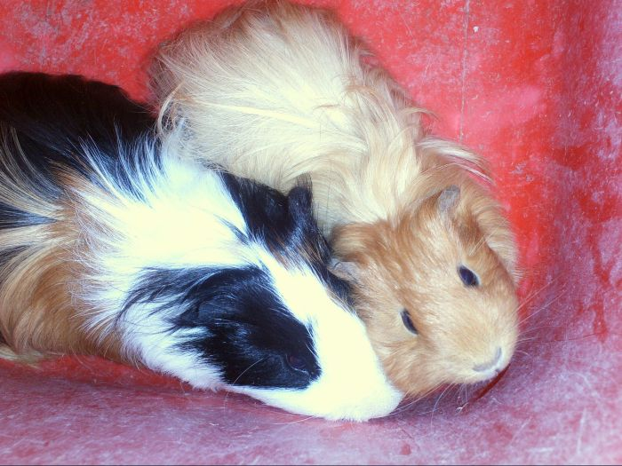 Coquin et Princesse : Cochon d'Inde Shelty.
