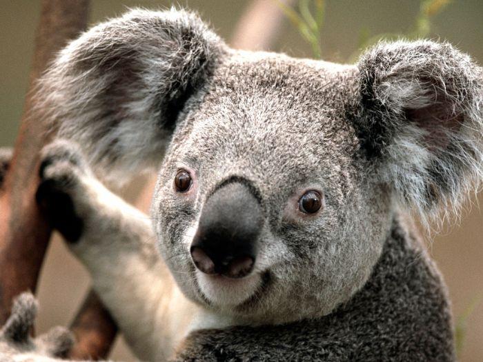Le Koala Australien