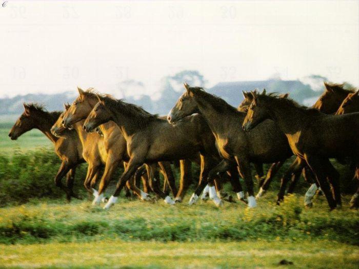 Les chevaux galopants