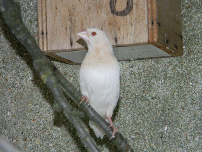 Une rareté (ou un raté)  moineau du Japon albinos