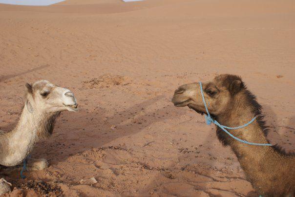 dromadaires au sahara