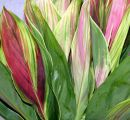Cordyline Tropical