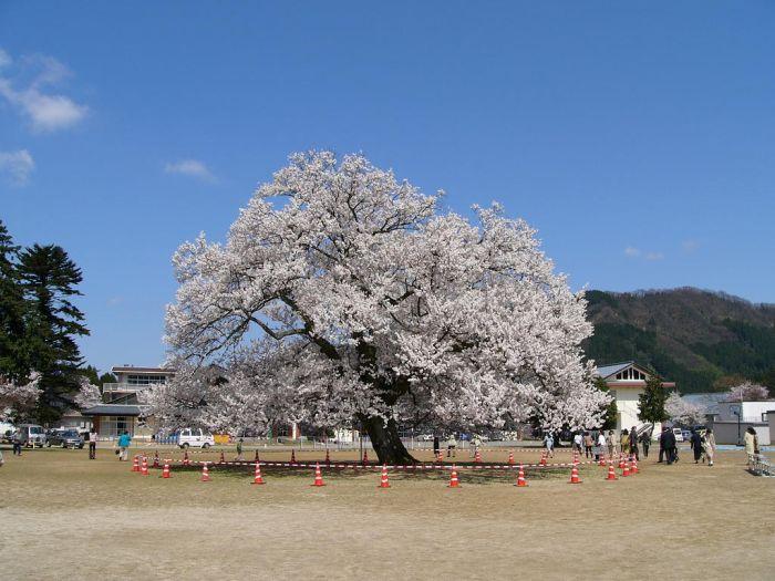 Ajimano SAKURA