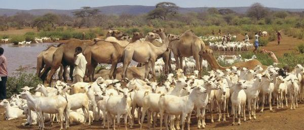 """somali nomade life style """"sow maal"""""""