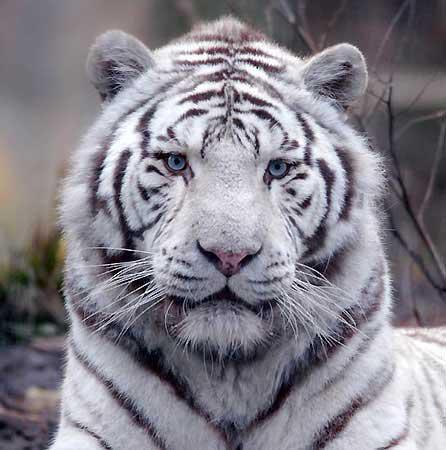 Joli le tigre ?
