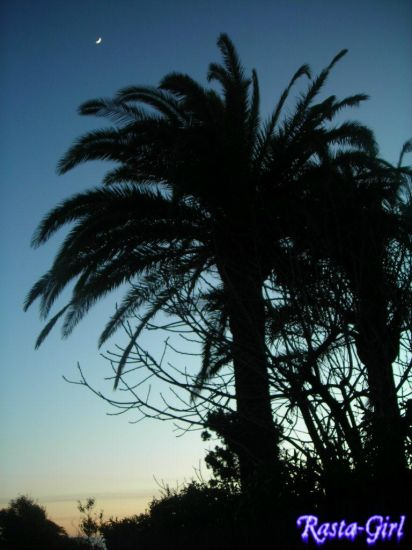 Palmier au clair de lune