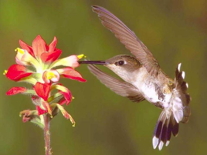 Femelle colibri-abeille
