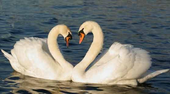 Cygnes amoureux...