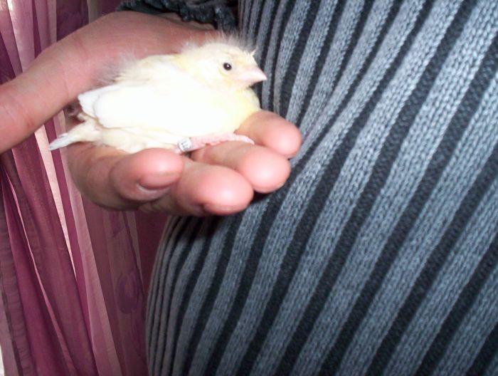 mon premier bébé canaris
