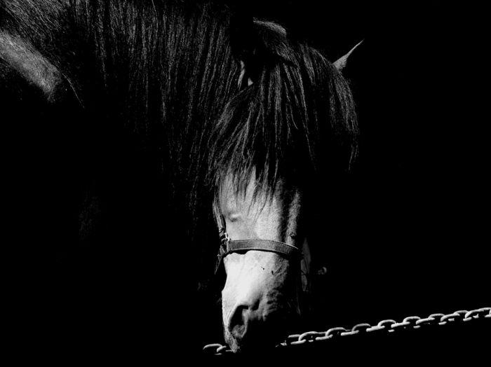 Cheval noir et blanc luluking063 - Cheval a imprimer noir et blanc ...