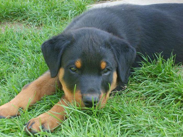 Diouk un de nos chiots né le 11 juillet 2008. Il est trognon