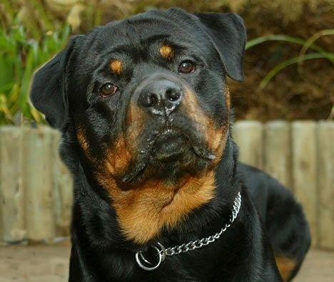Mon futur chien j aimerai trop en avoir un Rottweiler