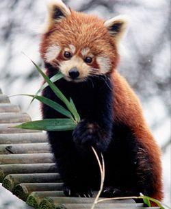 panda roux (l)