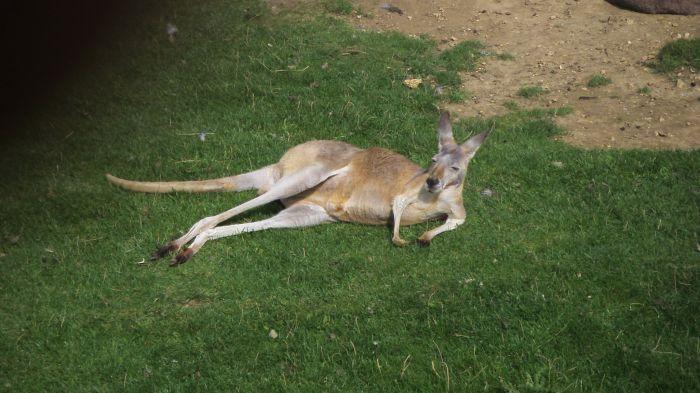 délire pause photo kool avec ce kangourou a beauval!