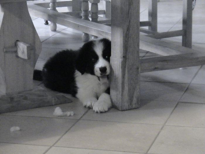 petit chien deviendra grand : 6 mois et 40 kg