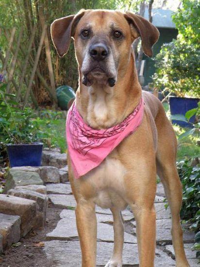Rébus - Mâle croisé Boxer - 7 ans
